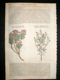Gerards Herbal 1633 Hand Col Botanical Print. Mountain & Rosemary Leaved Cistus
